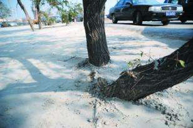 堤角百棵水杉被水泥封根 热心市民呼救,绿化队补救