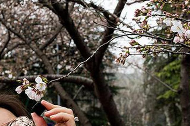 """武大赏樱季3月21日后""""景观较好"""" 校内设20个临厕"""