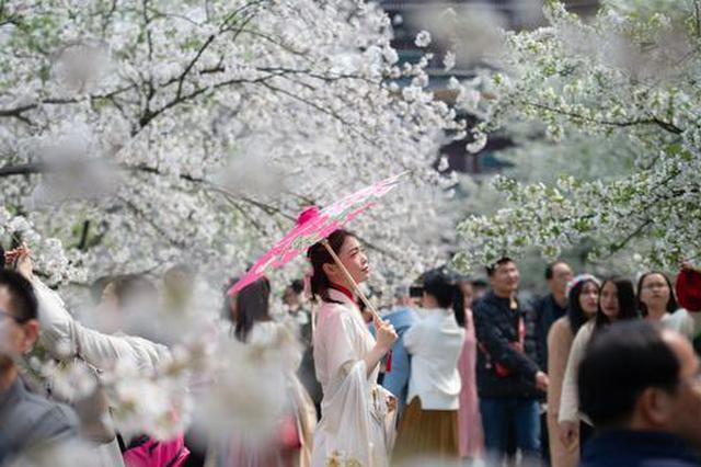 23日超200个旅游团涌入东湖樱花园 全天待客有望破9万