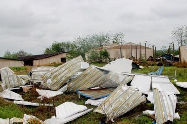 湖北孝昌一村庄遭大风袭击 大树被连根拔起