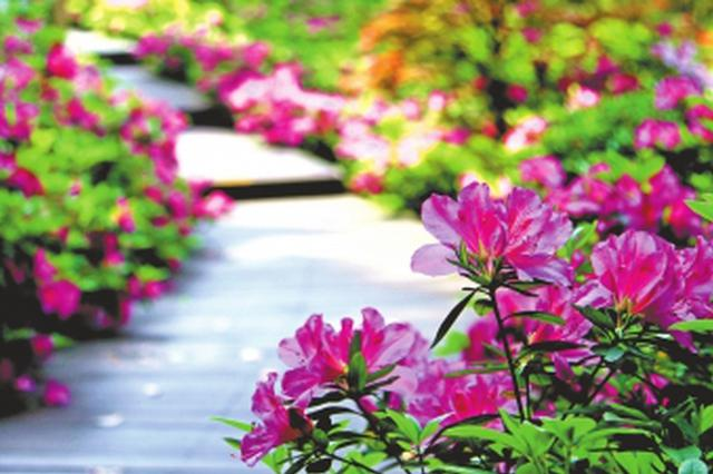 武汉东湖牡丹园闭园了 市民可来东湖杜鹃园