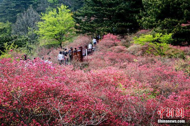 湖北麻城杜鹃花海迎客来 大量游客前来赏花观景