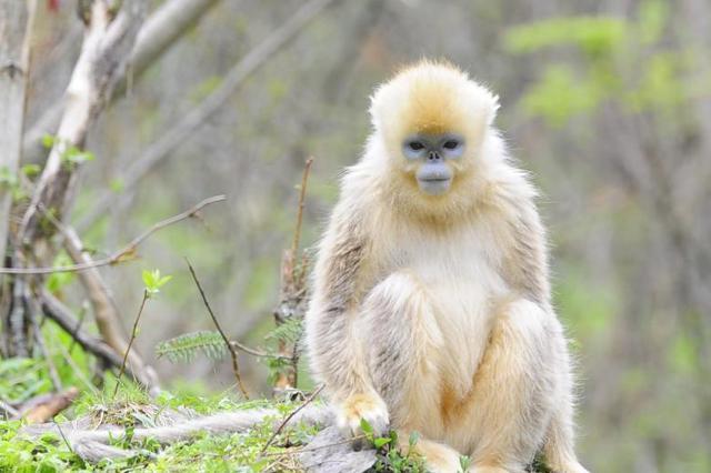 神农架生态环境不断改善 金丝猴种群数量稳步增长