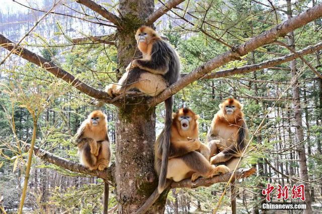 神农架金丝猴追踪者:十余年坚守深山与动物为友
