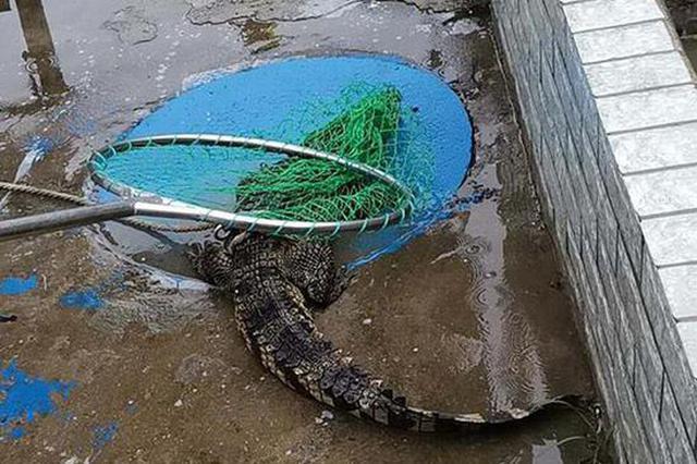 网传武汉动物园有鳄鱼因暴雨出逃 园方辟谣