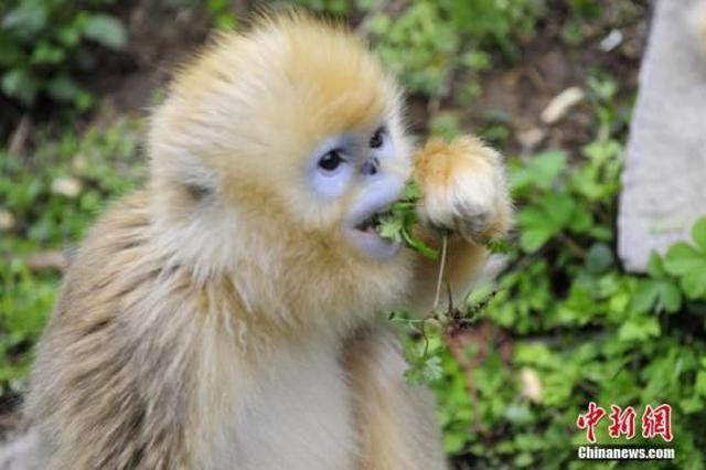湖北神农架时隔15年再启金丝猴种群调查
