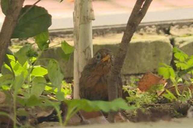 两男子在湖北巴东猎捕收购85只画眉鸟被刑事拘留