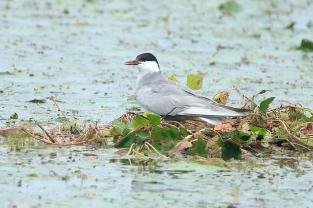 清菱角被指捣毁浮鸥巢 湖北一湿地公园称将保留400亩