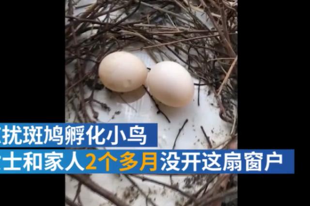 两对斑鸠接连趴窗台孵蛋 居民怕打扰俩月未开窗