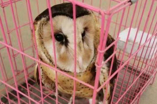 江夏一女子路边拾到怪鸟 原是二级保护野生动物猴面鹰