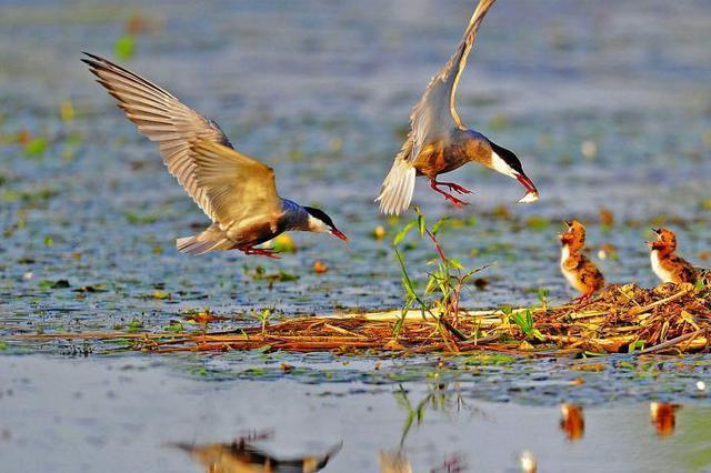 湖北金湖湿地现别样夏景 成群鸟儿繁衍嬉戏