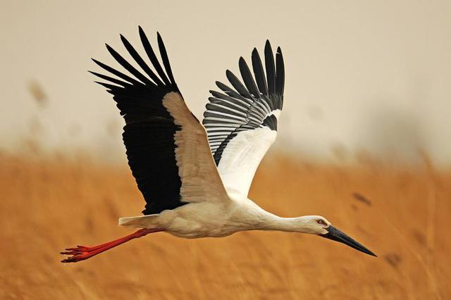 苏醒的长湖:东方白鹳、中华秋沙鸭等珍稀鸟类飞回来了