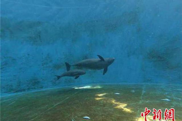 长江江豚人工繁育获新突破 首次繁育出二代江豚