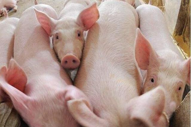湖北省4.2亿元财政资金鼓励生猪生产