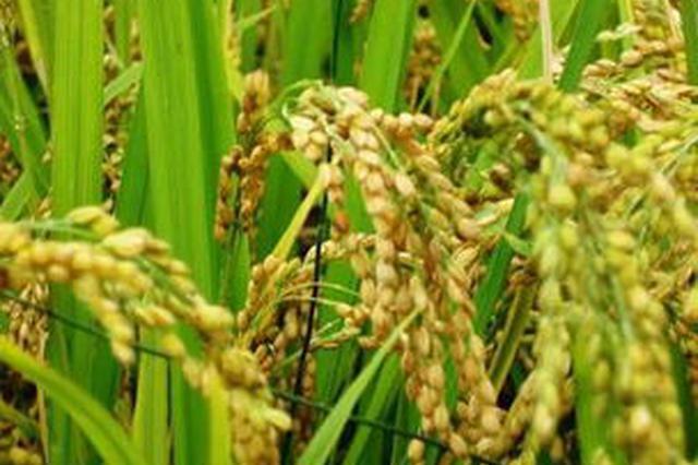 湖北成功繁育首个虾稻共作专用稻种