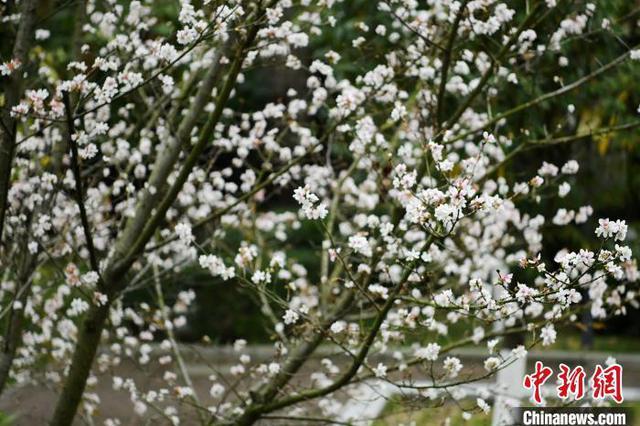 保康樱桃树花开二度成奇观 一夜之间绽开满树繁花