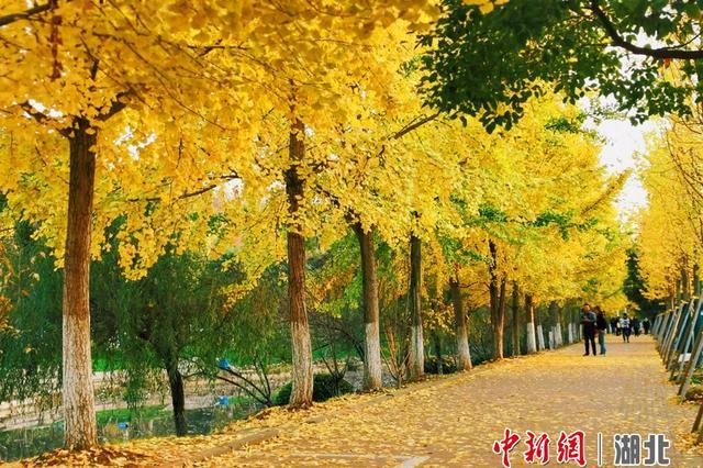 """湖北宜昌""""黄金大道""""灿如霞"""