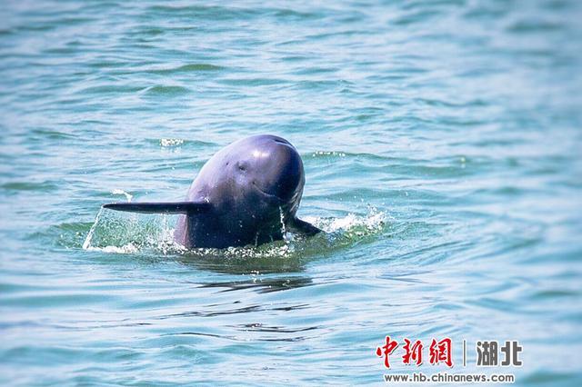 """长江江豚湖北宜昌江段展露迷人""""微笑"""""""