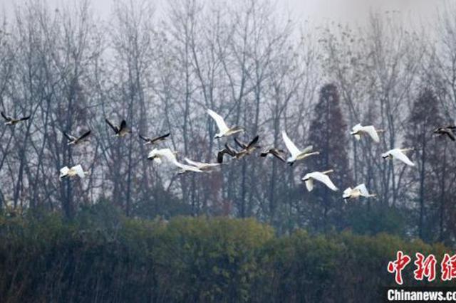 湖北返湾湖国家湿地公园新迎小天鹅越冬