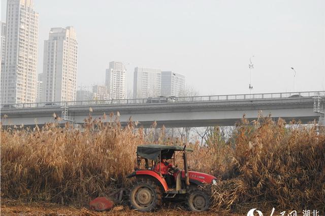 武汉汉口江滩芦苇收割完毕 就地化解预防火灾隐患
