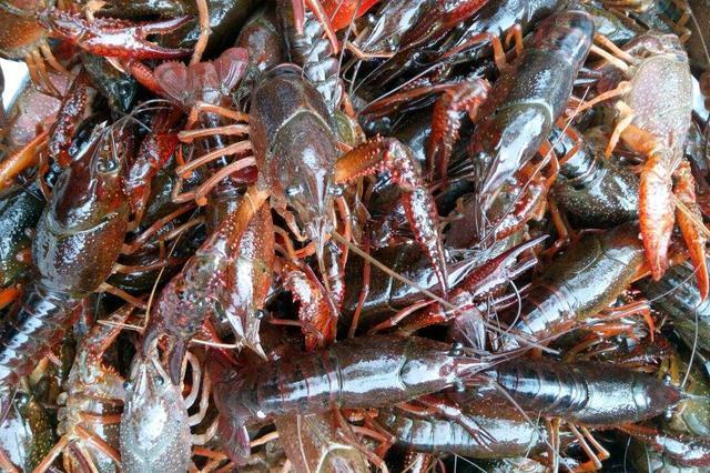 潜江开通21条小龙虾供应专线 消费市场加速升温