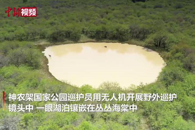 湖北神农架无人机拍到野生梅花鹿珍贵画面