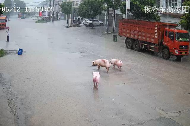 """14头猪""""越狱""""散落街头 宜城民警6小时""""缉捕""""归案"""