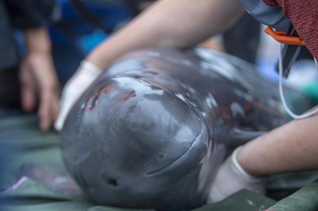 世界首头网箱中繁育的长江江豚贝贝回归自然水域