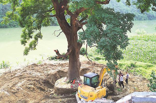 """十堰千年古树搬""""新家"""" 系国家一级保护古树(图)"""