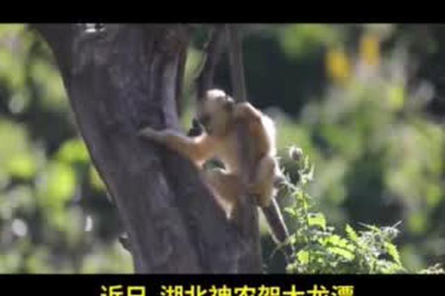 神农架再添金丝猴宝宝 猴妈妈24小时守护