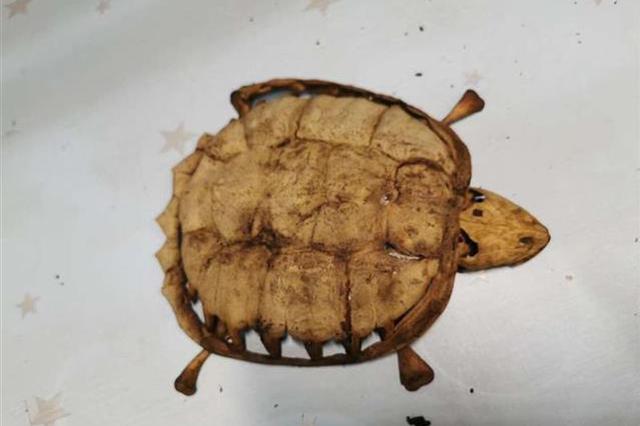 武汉一大学生时隔8个月返校 养在宿舍的乌龟仅剩骨架
