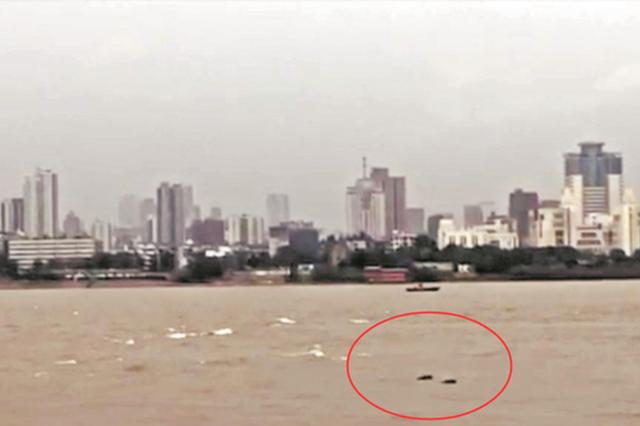 武汉酝酿江豚重返计划 将对全市江段全面科考