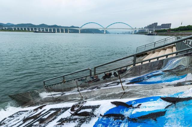 宜昌推进中华鲟保护区生态修复 助力长江大保护