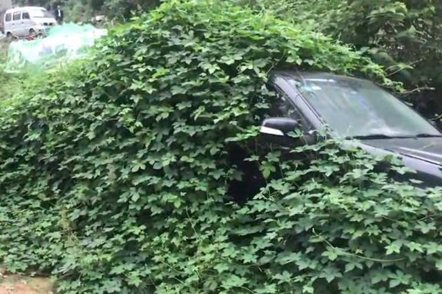 十堰一小车停放数月未动被藤蔓覆盖 远看仿佛披绿衣