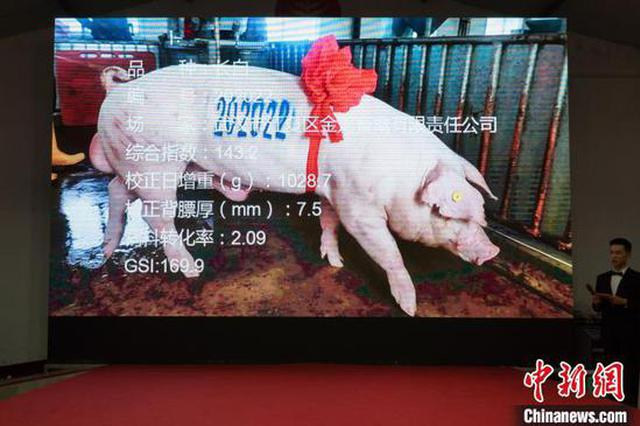 """2020年湖北""""猪王""""诞生:武汉一头公猪拍出4.2万元"""