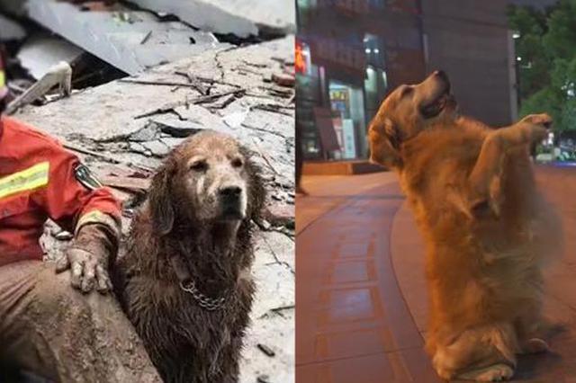立功无数的9岁搜救犬图图退役了 退休生活爱撒娇卖萌