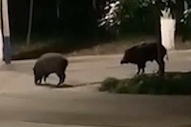 华中科技大学校园现两头野猪 在师生注视下淡定溜达