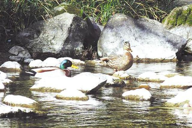湖北堵河源自然保护区发现绿头鸭