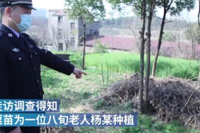 """八旬老人听信偏方""""罂粟壳治病"""" 菜地种植146株罂粟"""