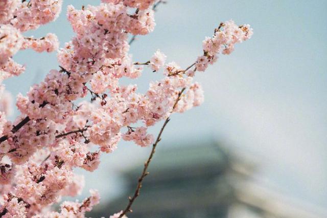 武大櫻花成為國內十大賞花熱門目的地