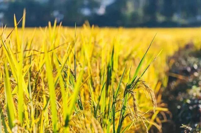 湖北粮油产值年均2千亿元 产业规模居全国第一方阵