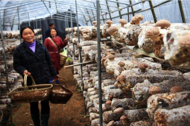 湖北竹溪:小香菇建成大产业
