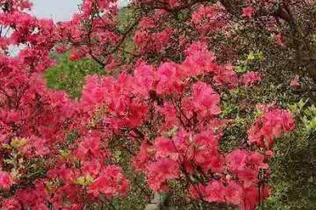 木兰云雾山杜鹃花正梯次盛开,花洋花开正好