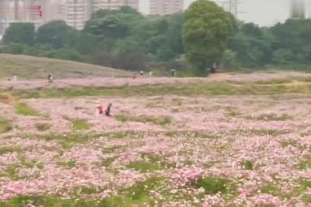 武汉光谷一闲置荒地变身粉色花海 游人顶着烈日打卡