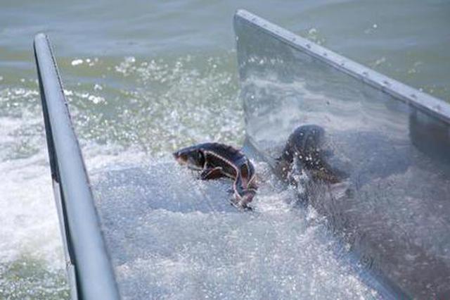两万余尾濒危和土著鱼苗从武汉放流长江