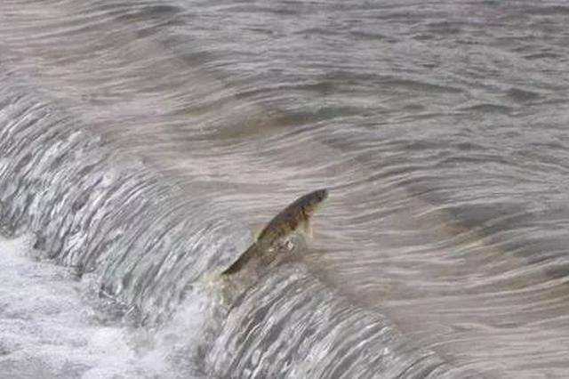 科研人员发现长江源关键鱼类产卵场