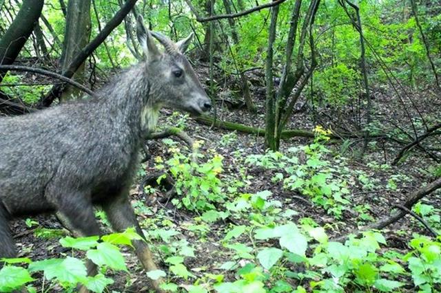湖北赛武当国家级自然保护区监测到珍稀动物
