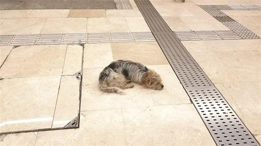 图为:岳家嘴地铁站内,一只流浪狗在乘凉