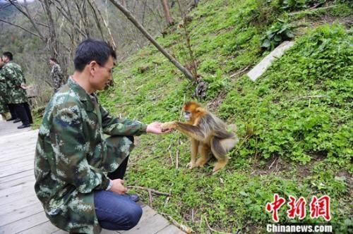图为金丝猴与参观者互动。中新社记者 王晓晖 摄