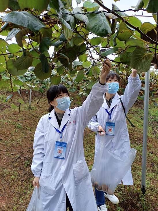 """武汉万亩猕猴桃产业迎来""""黄金期"""" 定期抽检确保质量安全"""